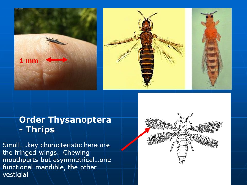Orthoptera (grasshoppers, crickets) vs Dictyoptera, similar in a number of respects.