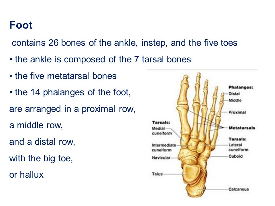 Foot contains 26 bones of the ankle, instep, and the five toes the ankle is composed of the 7 tarsal bones the five metatarsal bones the 14 phalanges