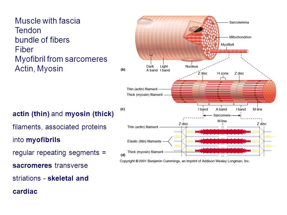 actin (thin) and myosin (thick) filaments, associated proteins into myofibrils regular repeating segments = sacromeres transverse striations - skeleta