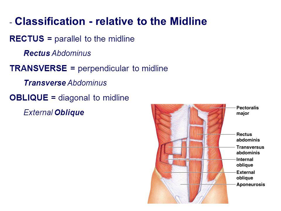 - Classification - relative to the Midline RECTUS = parallel to the midline Rectus Abdominus TRANSVERSE = perpendicular to midline Transverse Abdominu