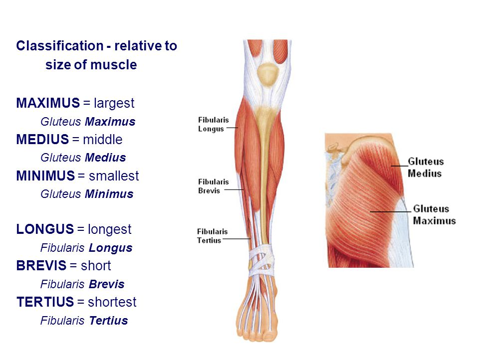 Classification - relative to size of muscle MAXIMUS = largest Gluteus Maximus MEDIUS = middle Gluteus Medius MINIMUS = smallest Gluteus Minimus LONGUS