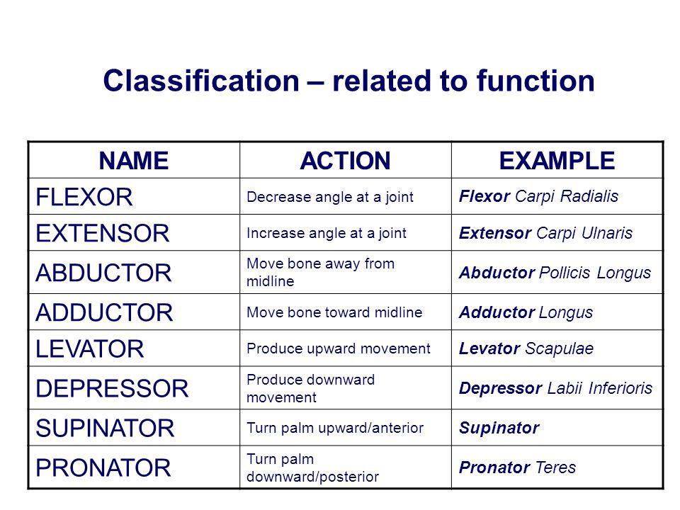 NAMEACTIONEXAMPLE FLEXOR Decrease angle at a joint Flexor Carpi Radialis EXTENSOR Increase angle at a joint Extensor Carpi Ulnaris ABDUCTOR Move bone
