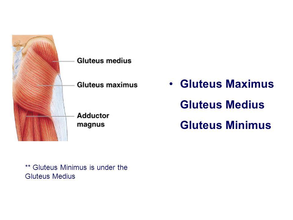 Gluteus Maximus Gluteus Medius Gluteus Minimus ** Gluteus Minimus is under the Gluteus Medius