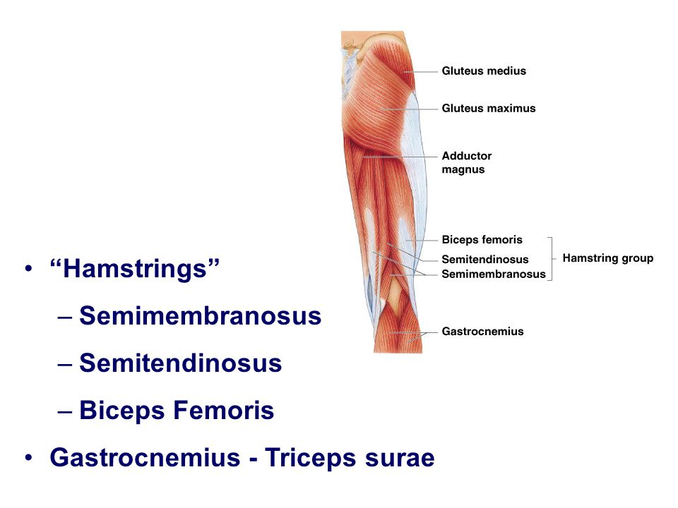 """Hamstrings"" –Semimembranosus –Semitendinosus –Biceps Femoris Gastrocnemius - Triceps surae"