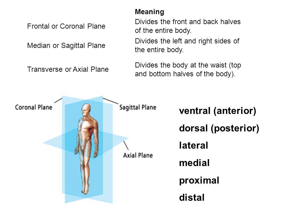 Classification - relative to number of tendons of origin BICEPS = Two Biceps Brachii Biceps Femoris TRICEPS = Three Triceps Brachii QUADRICEPS = Four Quadriceps Femoris