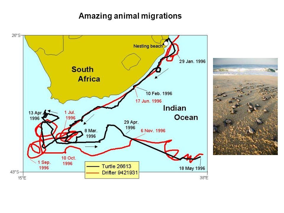 Amazing animal migrations