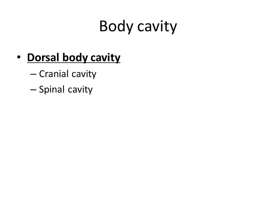 Body cavity Dorsal body cavity – Cranial cavity – Spinal cavity