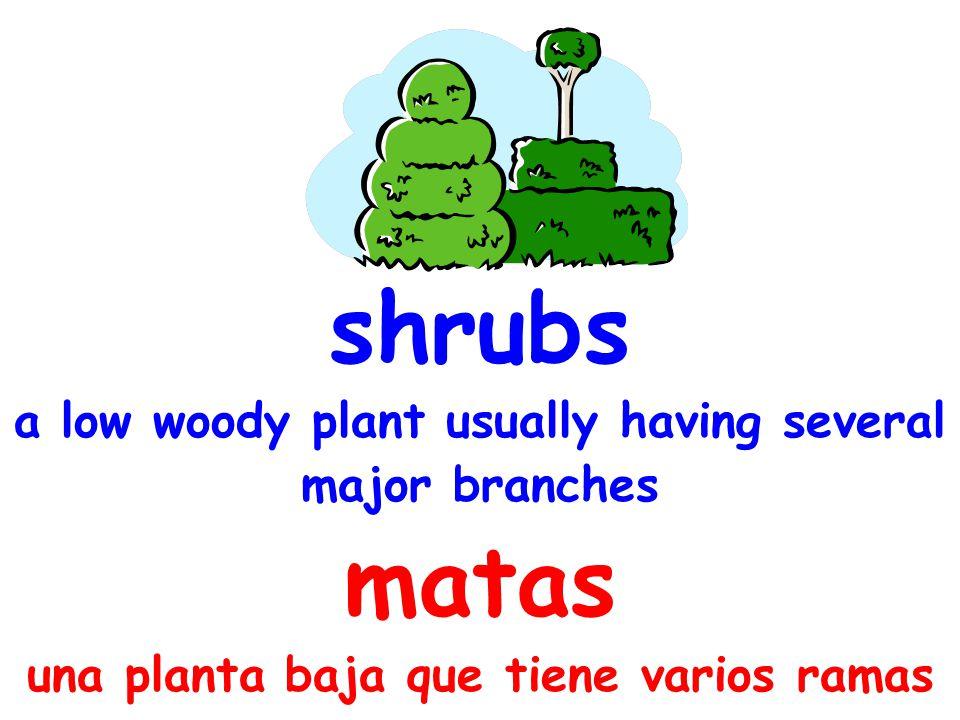 shrubs a low woody plant usually having several major branches matas una planta baja que tiene varios ramas