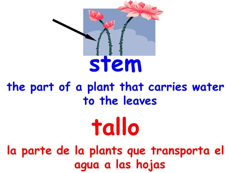 stem the part of a plant that carries water to the leaves tallo la parte de la plants que transporta el agua a las hojas
