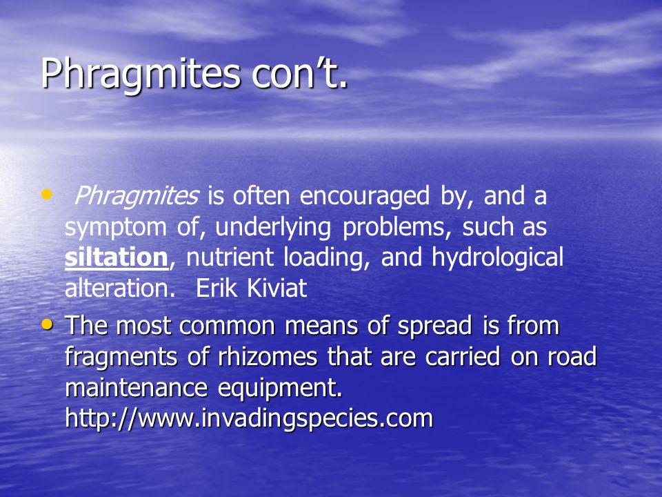 Phragmites con't.