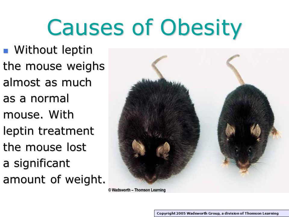Causes of Obesity Without leptin Without leptin the mouse weighs almost as much as a normal mouse.