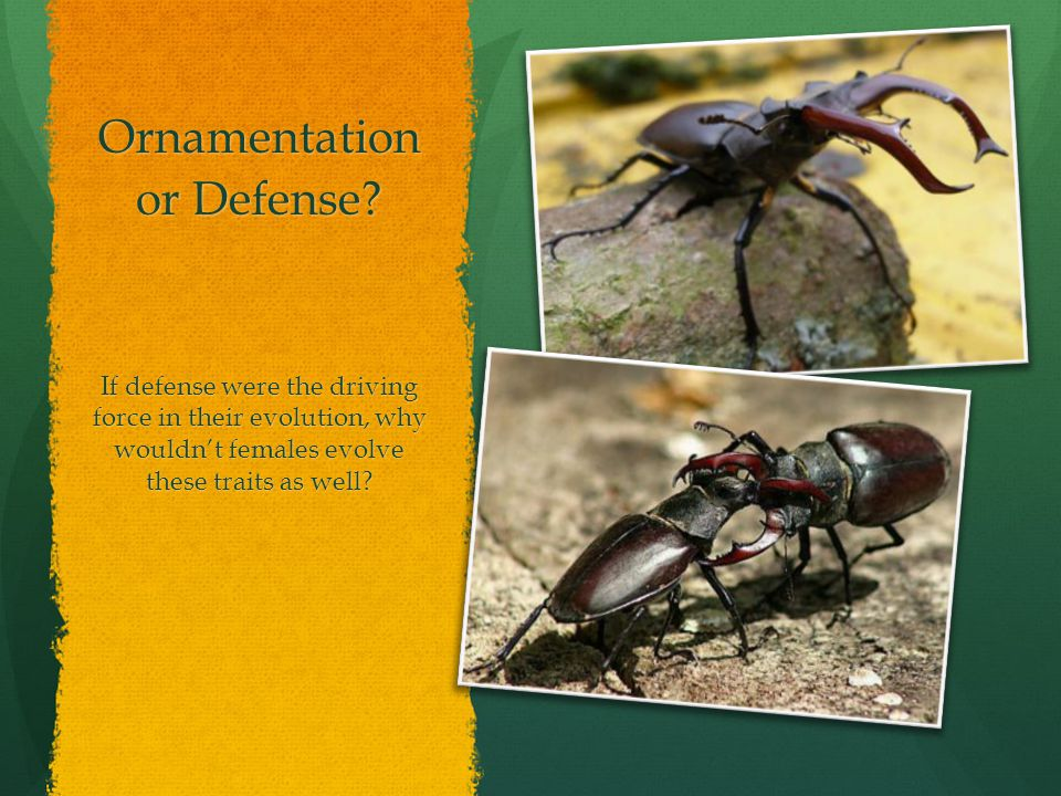Ornamentation or Defense? If defense were the driving force in their evolution, why wouldn't females evolve these traits as well?