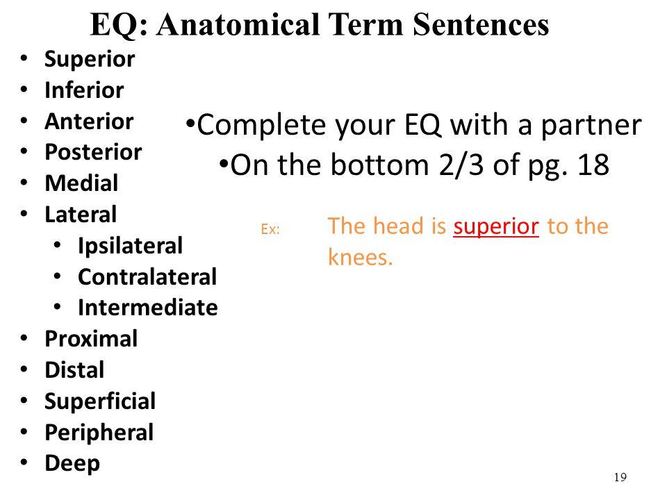 19 EQ: Anatomical Term Sentences Superior Inferior Anterior Posterior Medial Lateral Ipsilateral Contralateral Intermediate Proximal Distal Superficia
