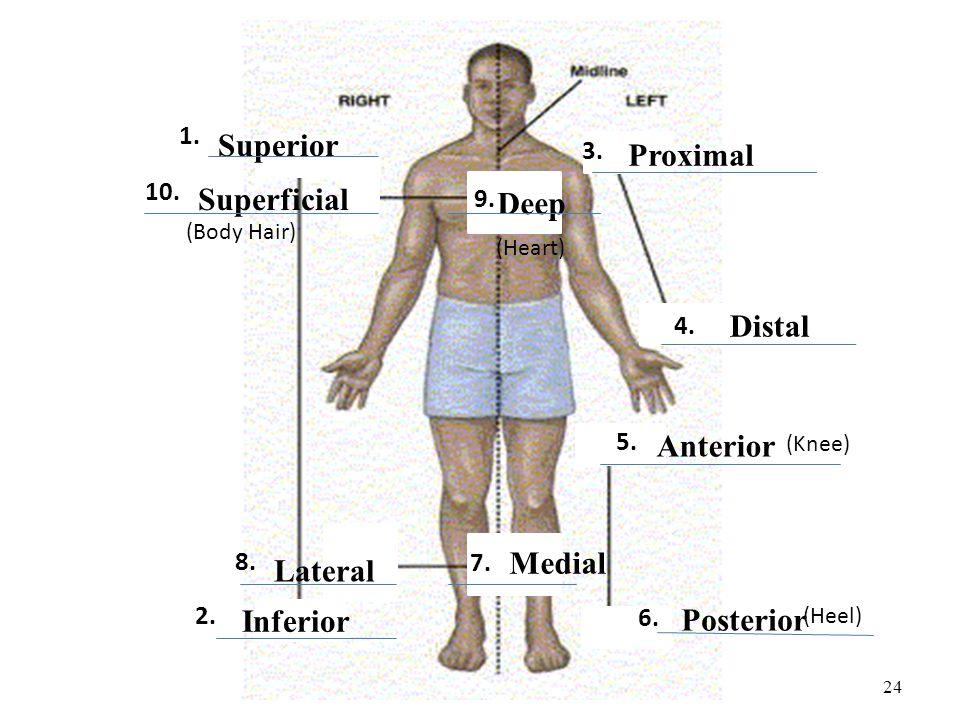 24 Superior Inferior Proximal Distal Superficial Deep Lateral Medial Anterior Posterior (Knee) (Heel) (Heart) (Body Hair) 1. 2. 3. 4. 5. 6. 7. 8. 9. 1