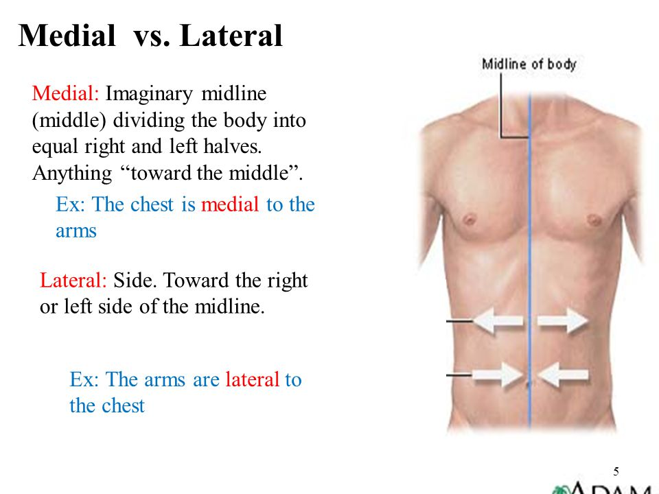 """5 Medial: Imaginary midline (middle) dividing the body into equal right and left halves. Anything """"toward the middle"""". Ex: The chest is medial to the"""