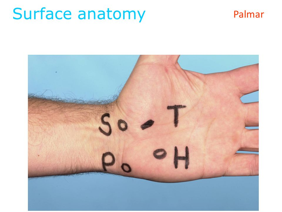 Surface anatomy Palmar