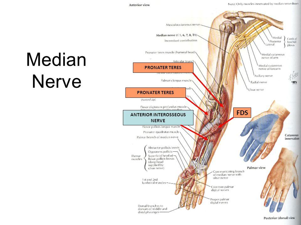 Median Nerve PRONATER TERES FDS ANTERIOR INTEROSSEOUS NERVE