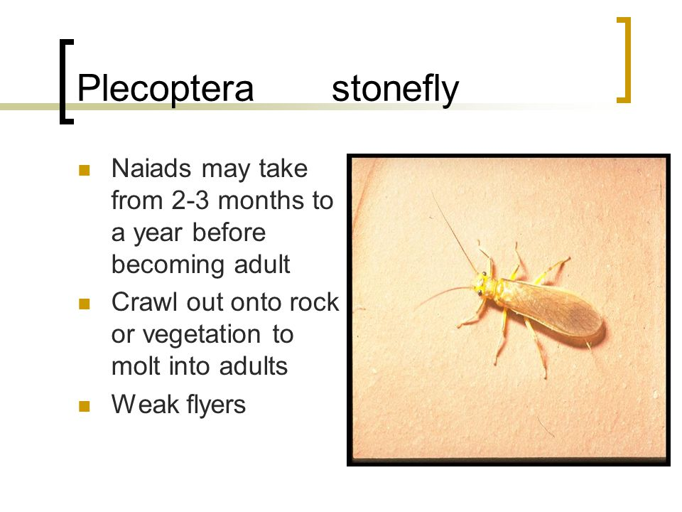 Plecoptera stonefly Naiads may take from 2-3 months to a year before becoming adult Crawl out onto rock or vegetation to molt into adults Weak flyers