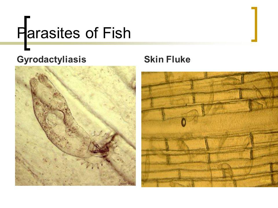 Parasites of Fish GyrodactyliasisSkin Fluke