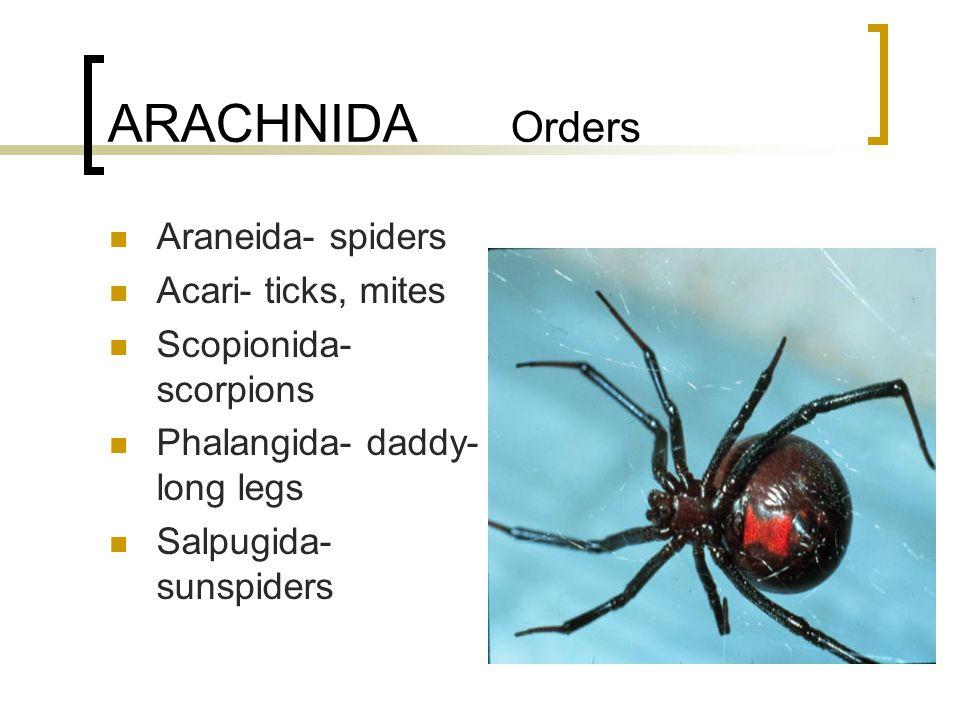 ARACHNIDA Orders Araneida- spiders Acari- ticks, mites Scopionida- scorpions Phalangida- daddy- long legs Salpugida- sunspiders