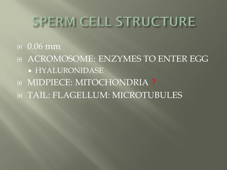  0.06 mm  ACROMOSOME: ENZYMES TO ENTER EGG  HYALURONIDASE  MIDPIECE: MITOCHONDRIA ?  TAIL: FLAGELLUM: MICROTUBULES