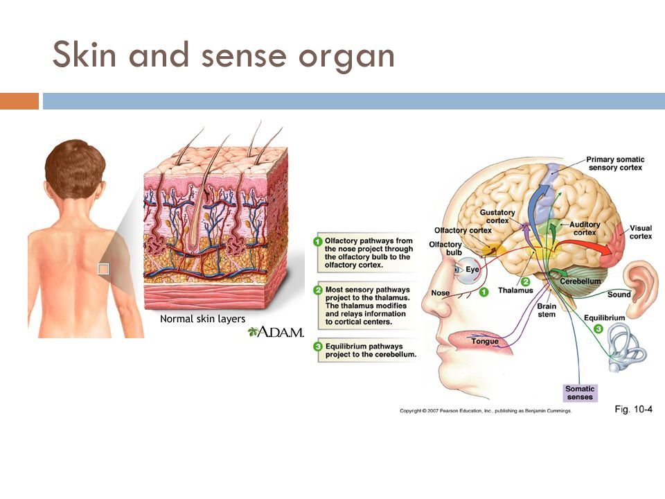 Skin and sense organ