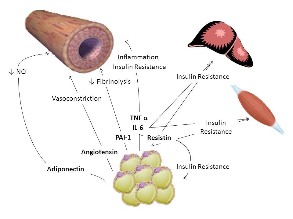 TNF α IL-6 Angiotensin Vasoconstriction ↓ NO Adiponectin ↓ Fibrinolysis PAI-1 Insulin Resistance Insulin Resistance Resistin Inflammation Insulin Resistance