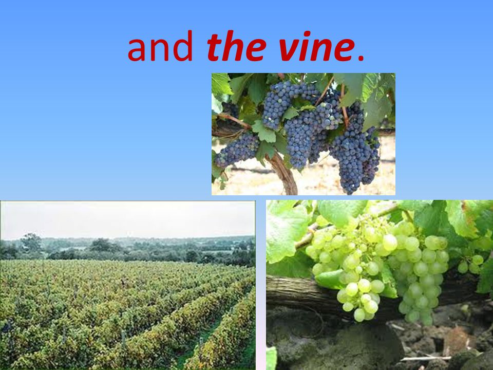 and the vine.