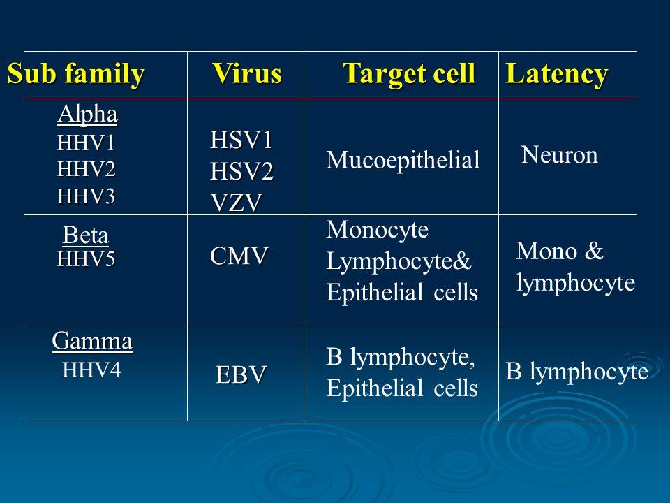 Sub family VirusTarget cell Latency Alpha HHV1 HHV2 HHV3 HSV1 HSV2 VZV Mucoepithelial Neuron Beta HHV5 CMV Monocyte Lymphocyte& Epithelial cells Mono & lymphocyte Gamma HHV4 EBV B lymphocyte, Epithelial cells B lymphocyte