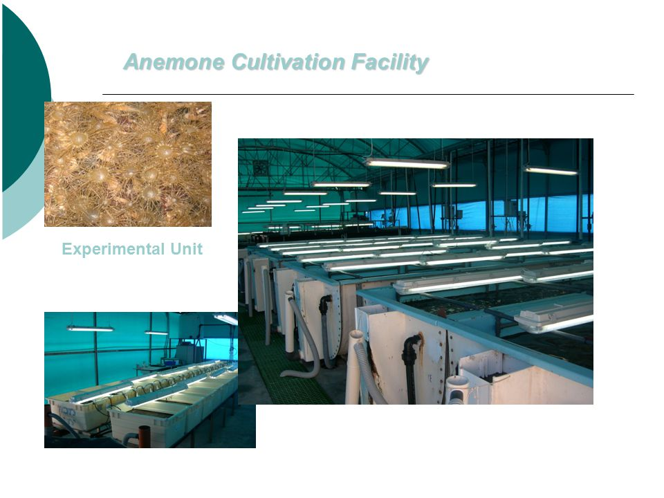Anemone Cultivation Facility Experimental Unit