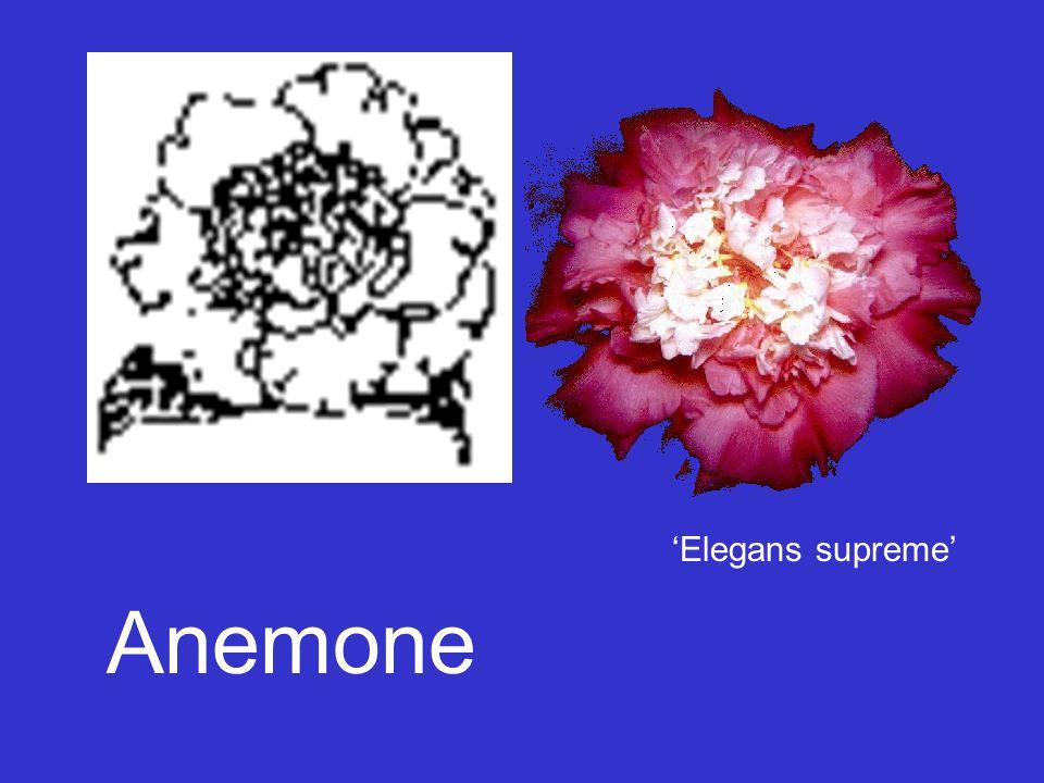 Anemone 'Elegans supreme'