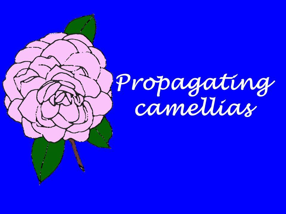 Propagating camellias