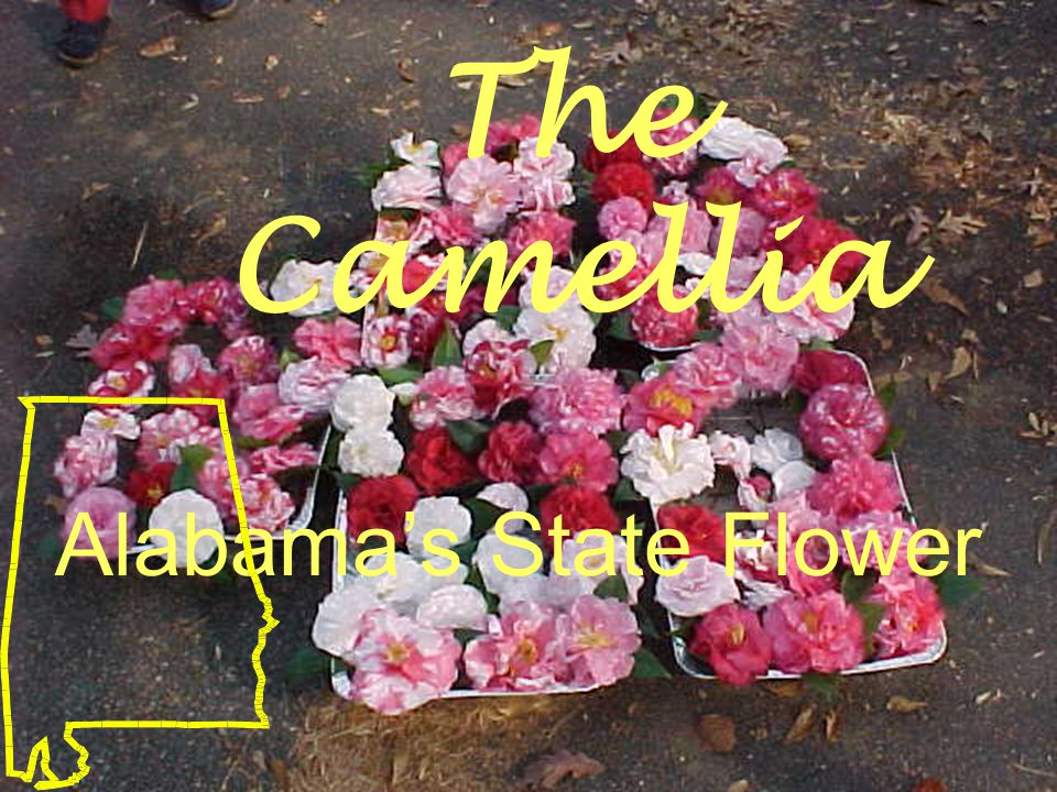 The Camellia Alabama's State Flower