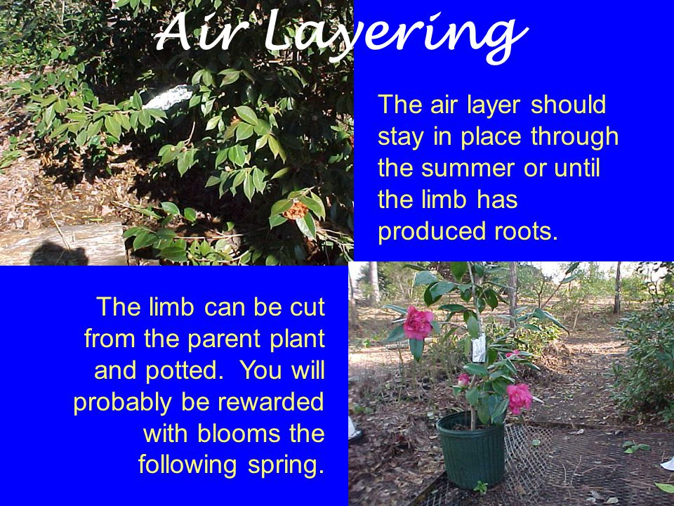 The air layer should stay in place through the summer or until the limb has produced roots. The limb can be cut from the parent plant and potted. You