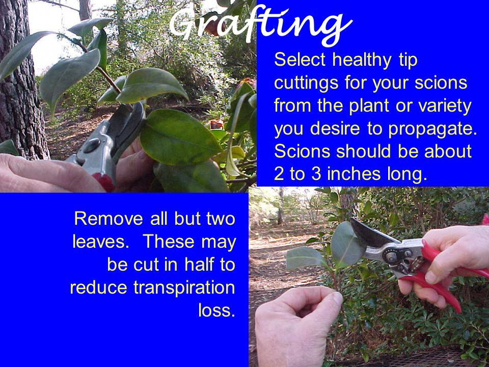 Select healthy tip cuttings for your scions from the plant or variety you desire to propagate. Scions should be about 2 to 3 inches long. Remove all b