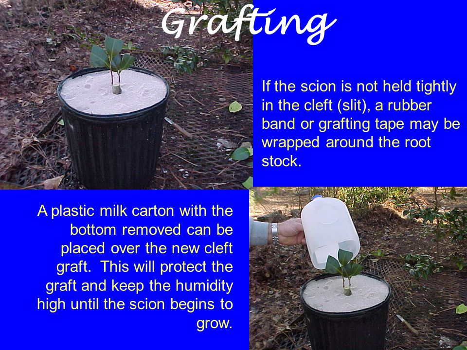 A plastic milk carton with the bottom removed can be placed over the new cleft graft. This will protect the graft and keep the humidity high until the