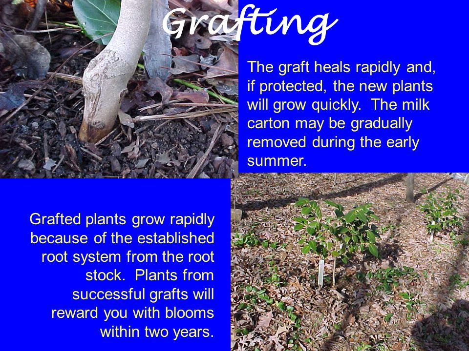 The graft heals rapidly and, if protected, the new plants will grow quickly. The milk carton may be gradually removed during the early summer. Grafted