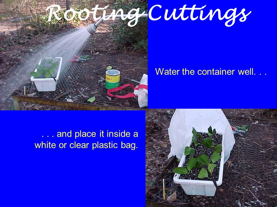 Water the container well...... and place it inside a white or clear plastic bag. Rooting Cuttings