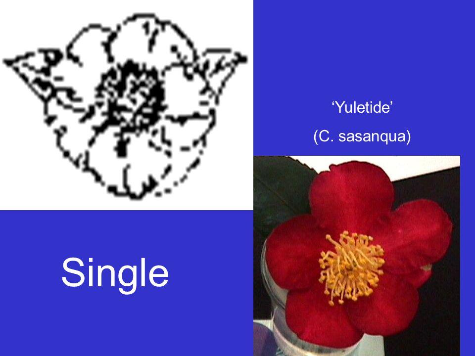 Single 'Yuletide' (C. sasanqua)