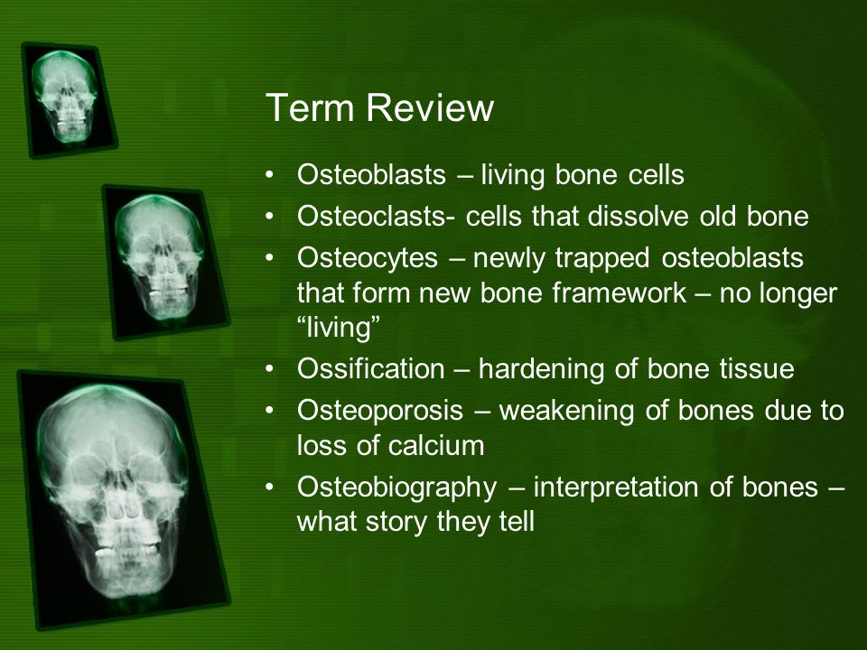 Term Review Osteoblasts – living bone cells Osteoclasts- cells that dissolve old bone Osteocytes – newly trapped osteoblasts that form new bone framework – no longer living Ossification – hardening of bone tissue Osteoporosis – weakening of bones due to loss of calcium Osteobiography – interpretation of bones – what story they tell