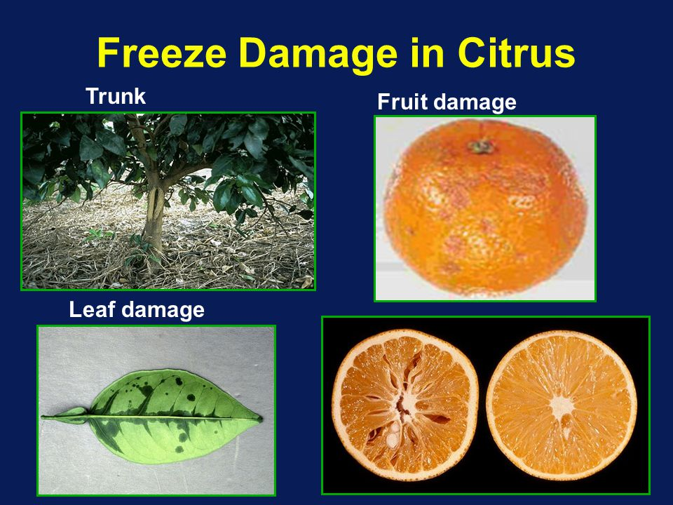 Freeze Damage in Citrus Trunk Fruit damage Leaf damage