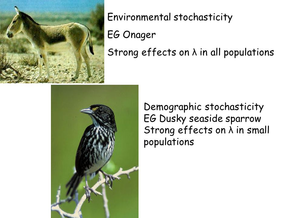 Environmental stochasticity EG Onager Strong effects on λ in all populations Demographic stochasticity EG Dusky seaside sparrow Strong effects on λ in