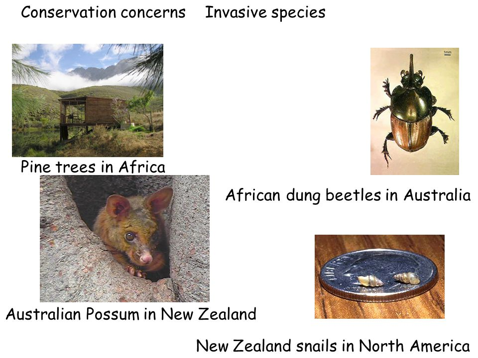 Conservation concerns Invasive species Pine trees in Africa African dung beetles in Australia Australian Possum in New Zealand New Zealand snails in N