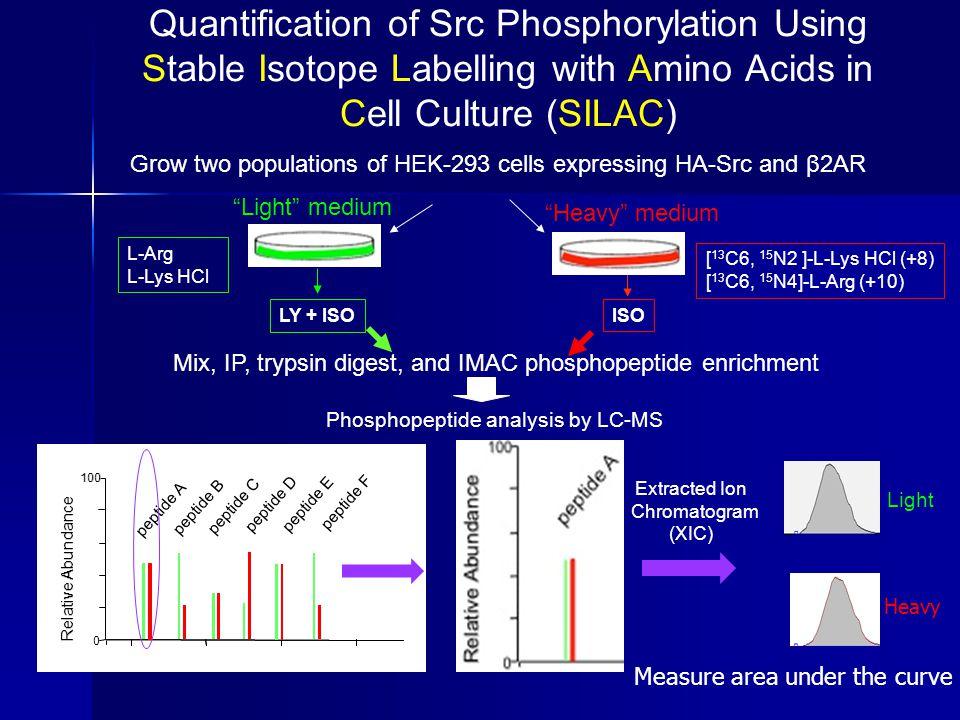 "Grow two populations of HEK-293 cells expressing HA-Src and β2AR ""Light"" medium ""Heavy"" medium LY + ISO L-Arg L-Lys HCl [ 13 C6, 15 N2 ]-L-Lys HCl (+8"
