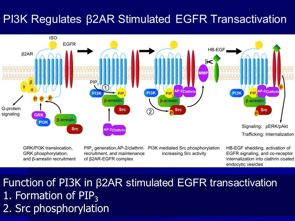 PI3K Regulates β2AR Stimulated EGFR Transactivation Function of PI3K in β2AR stimulated EGFR transactivation 1. Formation of PIP 3 2. Src phosphorylat