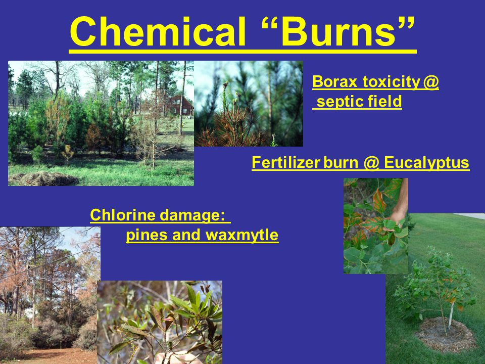 Chemical Burns Borax toxicity @ septic field Chlorine damage: pines and waxmytle Fertilizer burn @ Eucalyptus