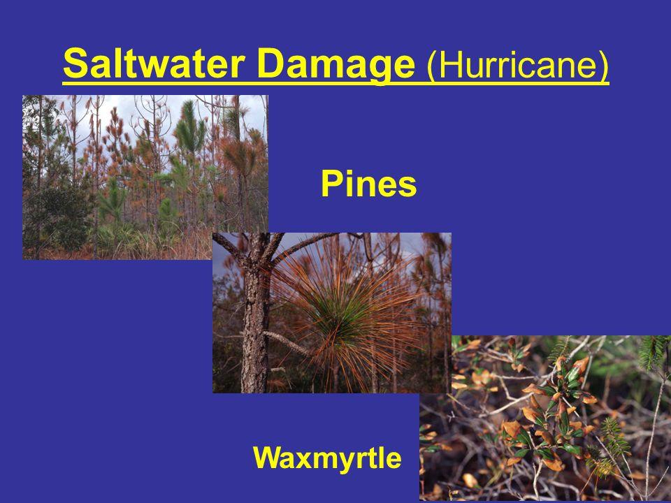 Freeze Damage – Live Oak Branch Flagging associated with longitudinal bark fissuring.