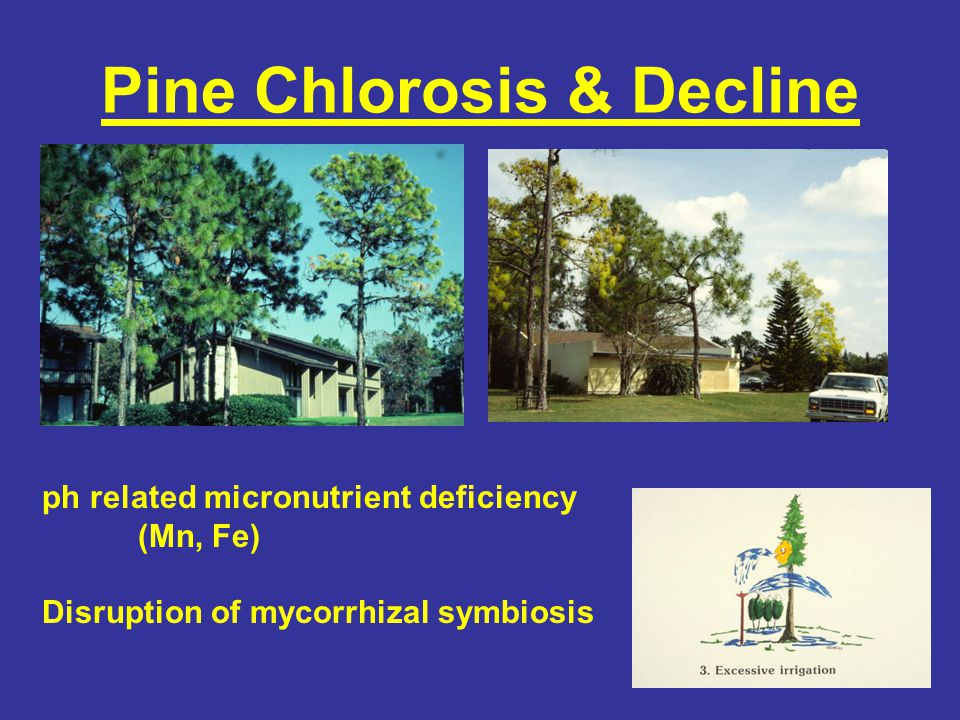 Pine Chlorosis & Decline ph related micronutrient deficiency (Mn, Fe) Disruption of mycorrhizal symbiosis