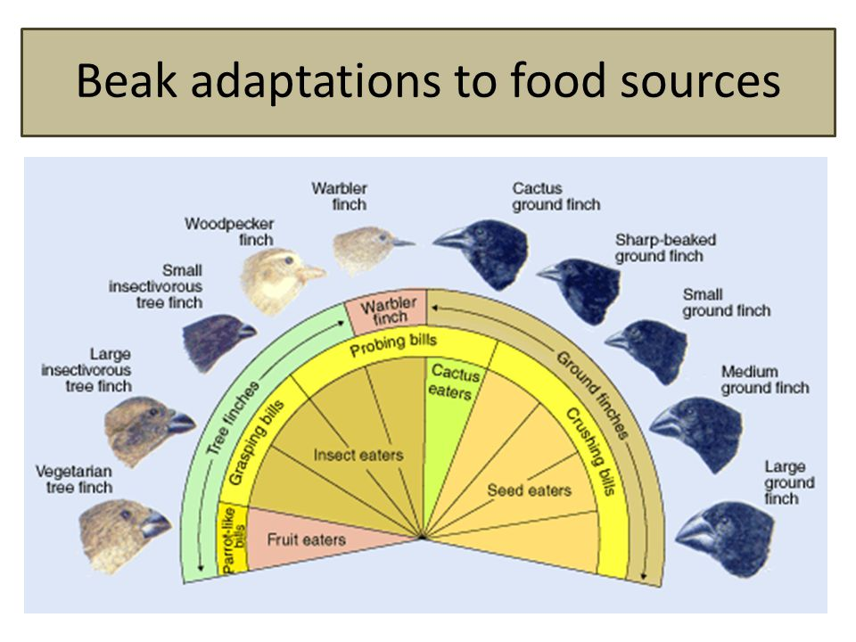 Beak adaptations to food sources