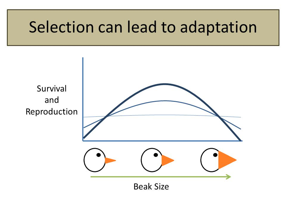 Selection can lead to adaptation Survival and Reproduction Beak Size